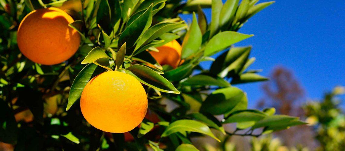 Arancio Amaro Dr.Vandelli