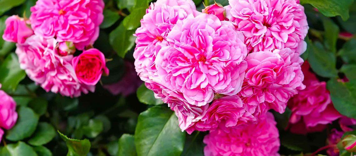 Rosa Centifolia Dr.Vandelli